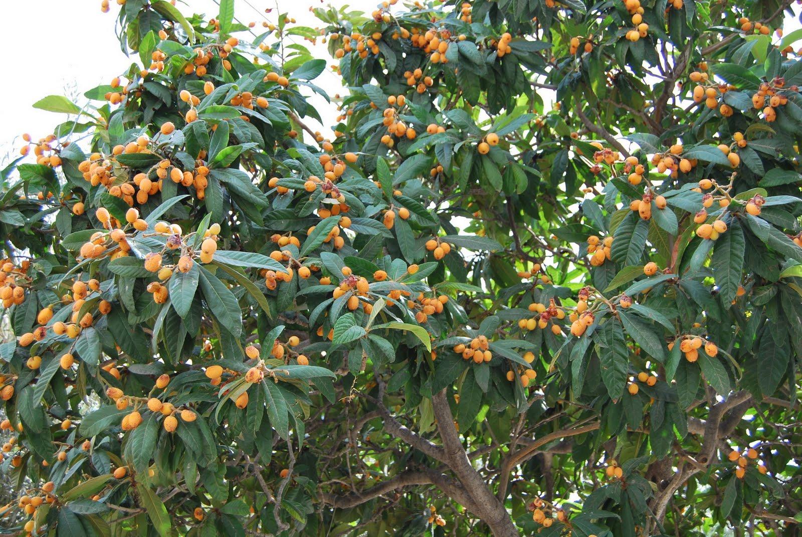 Mushmula in Crete