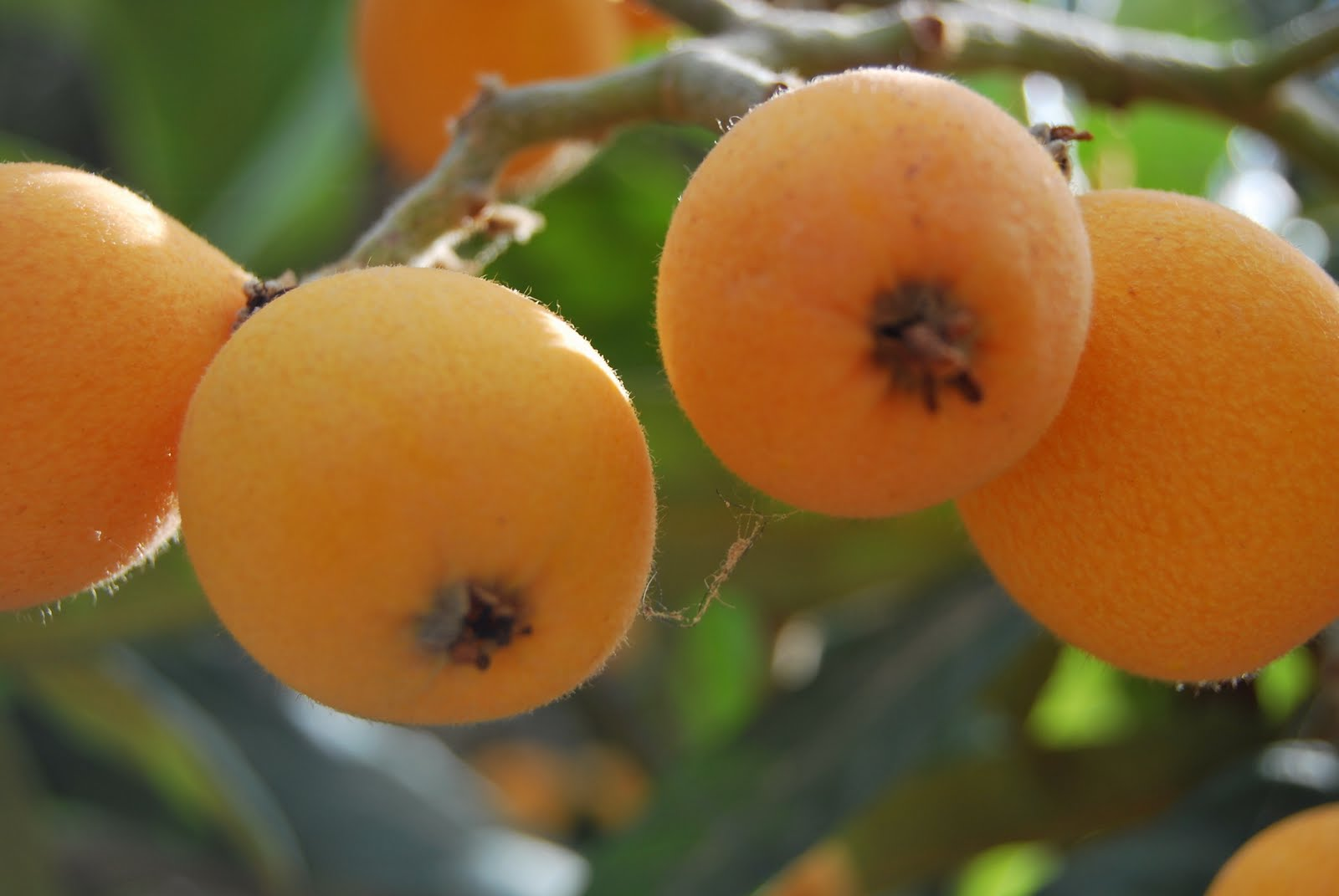 Mushmula Fruits